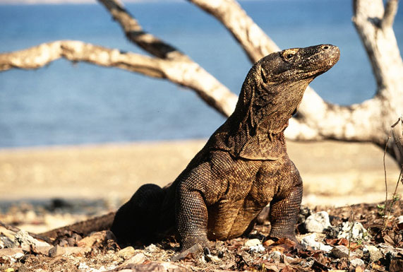Gambar Pulau Komodo Nusa Tenggara Timur