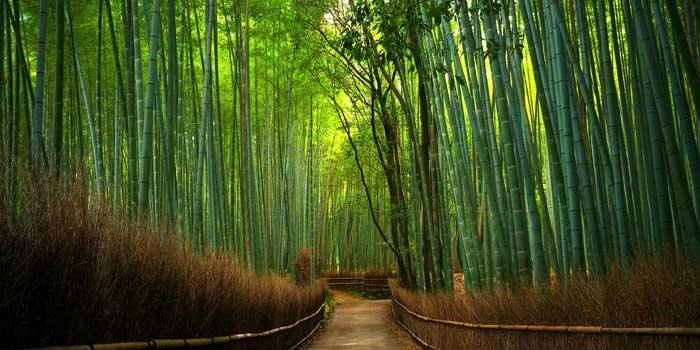 Hutan Bambu