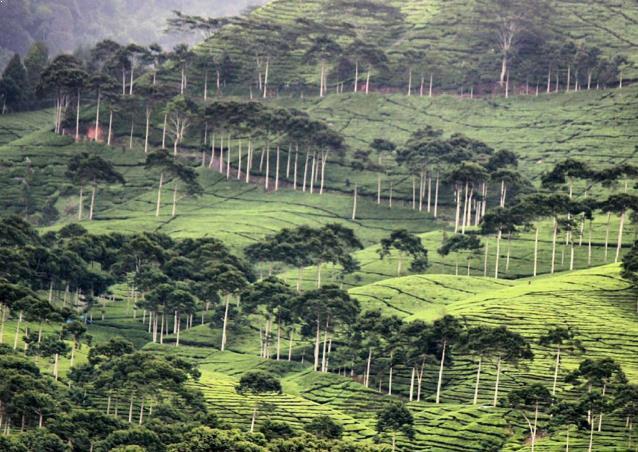 Gambar Perkebunan Teh Sinumbra