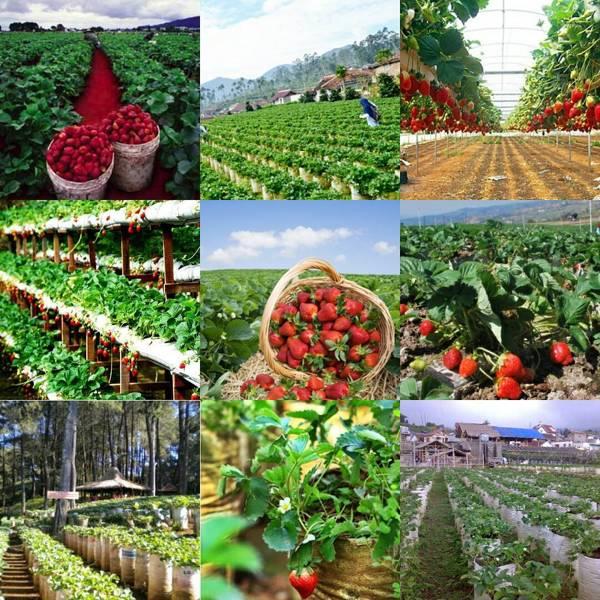 Kebun Petik Strawberry Bandung