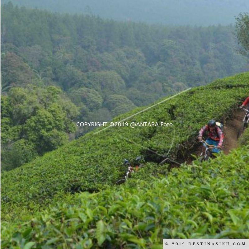 kebun teh sukawana parongpong lembang