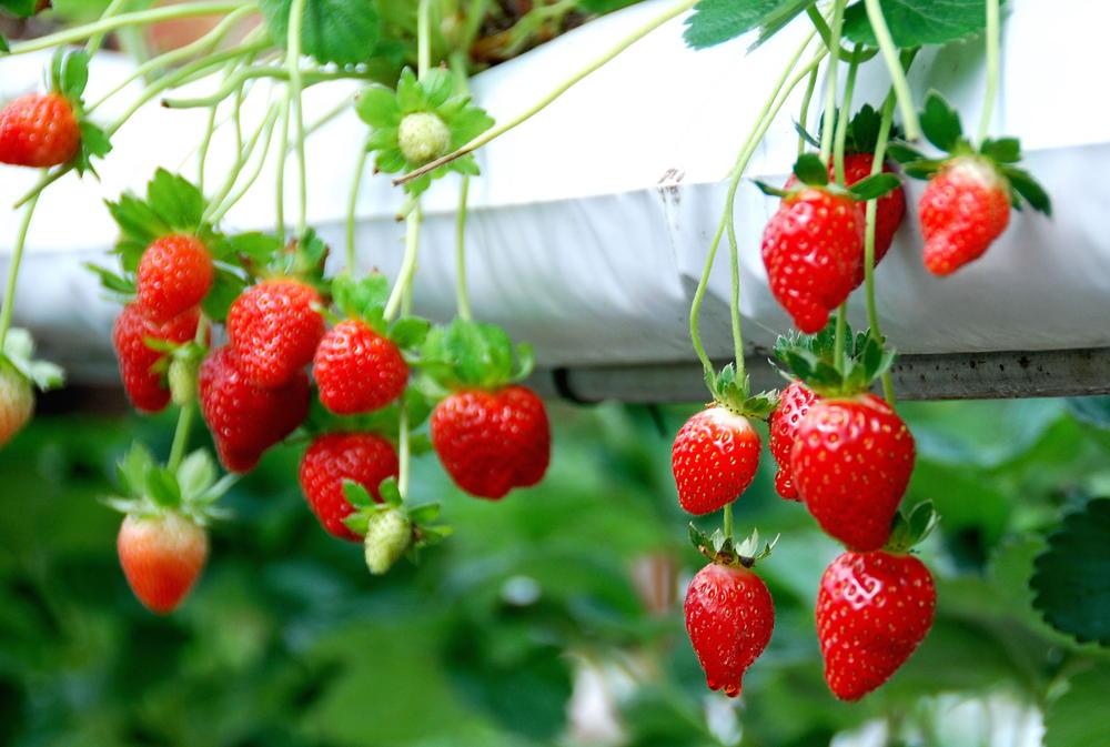 kebun strawberry emte highland resort bandung jawa barat