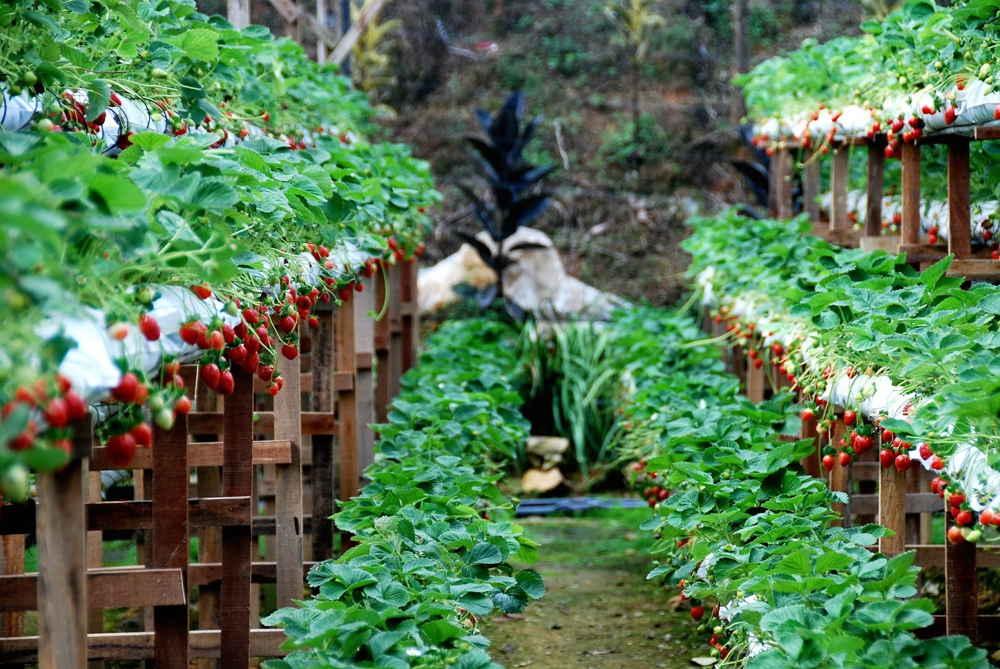 kebun strawberry cihanjuang bandung