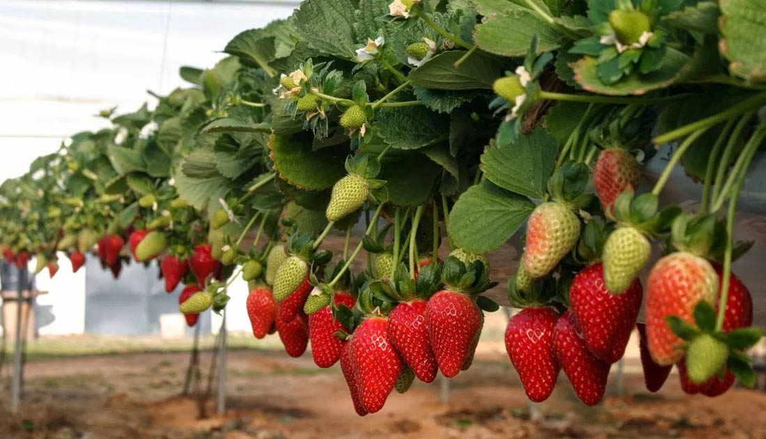 kebun strawberry bandung yang bagus