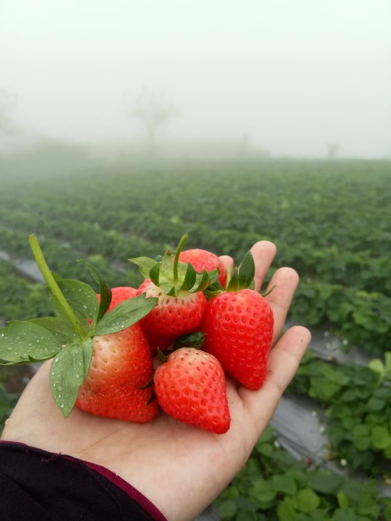 tiket masuk kebun strawberry bandung