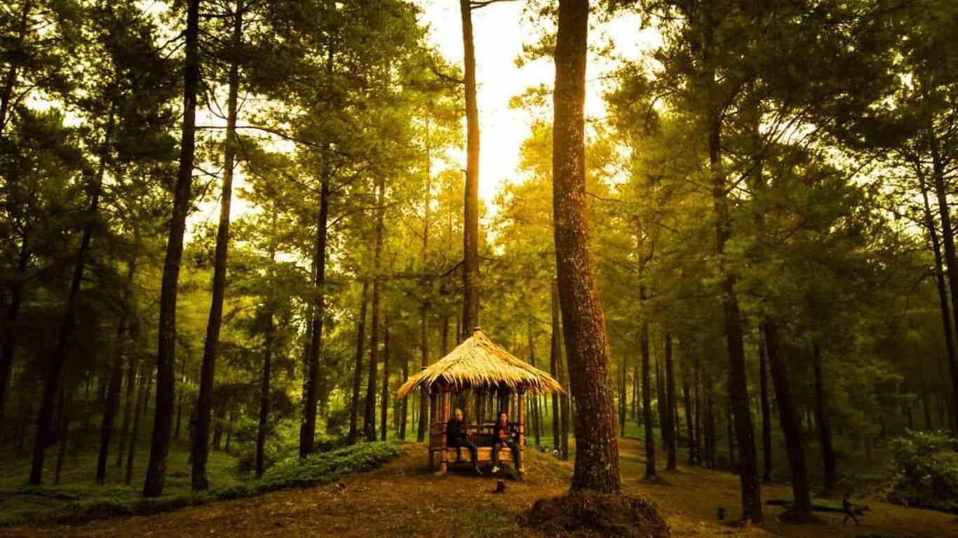 Hutan Pinus Limpakuwus