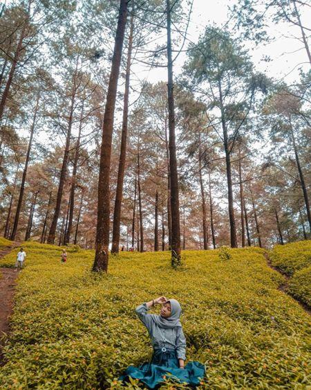 hutan pinus limpakuwus baturaden